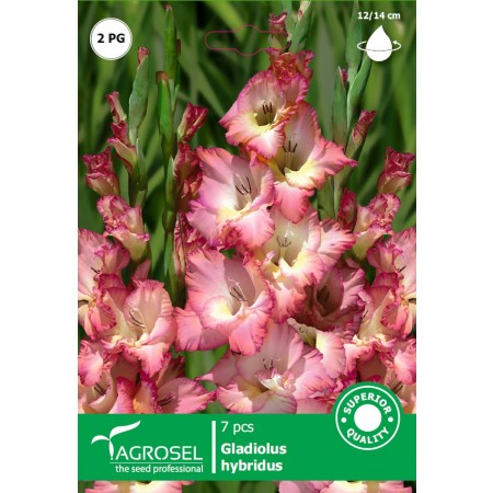 Bulbi Gladiole bicolor Cheops 7