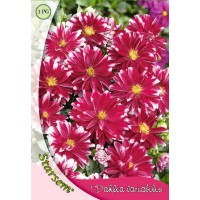 Bulbi Dahlia Little Tiger 1